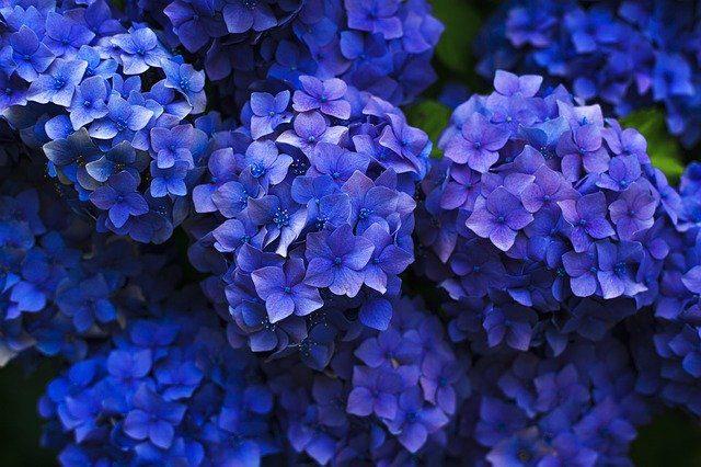 Cómo prolongar el azul de las hortensias